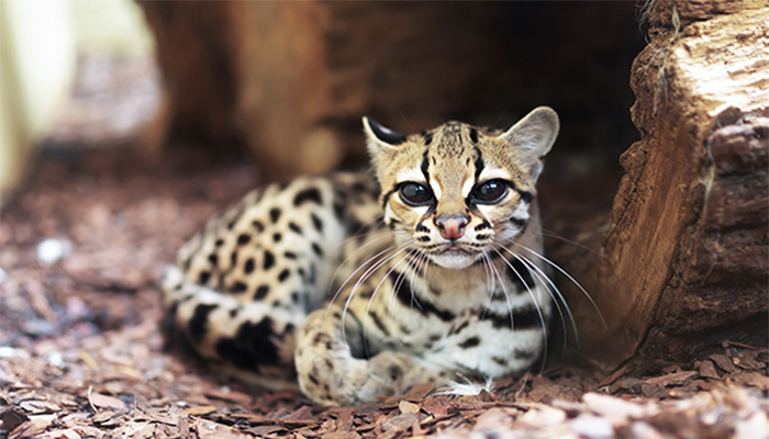 Margay cat laying down