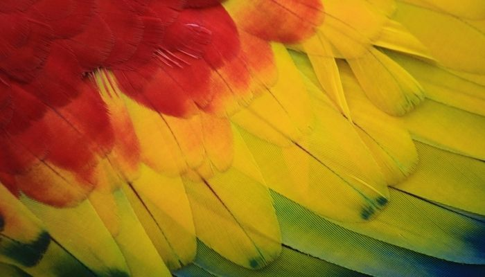 macro of a rainbow macaw's feathers
