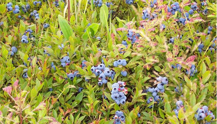 Fruiting blueberry bush