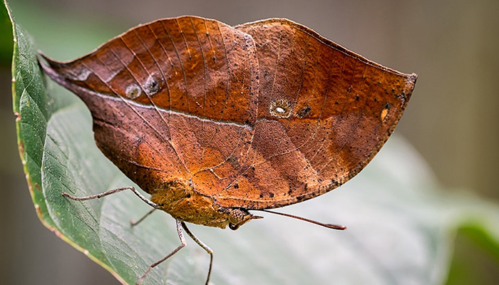 dead leaf butterfly on a green leaf.