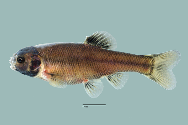 Fathead Minnow ( Pimephales promelas )