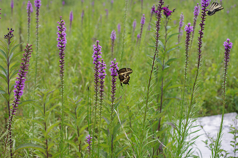 a favorite of butterflies, dense blazing star stems are striking in their own right and for the winged spectacle they attract