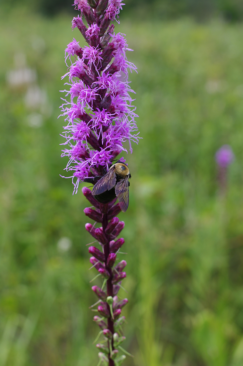 dense blazing star flowers are always hopping with pollinators